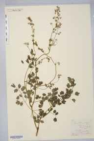 Thalictrum minus var. montanum herbarium specimen from hawkswick, VC64 Mid-west Yorkshire in 1881 by William West (Bradford).