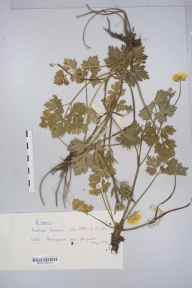 Ranunculus repens herbarium specimen from Malham, VC64 Mid-west Yorkshire in 1969 by Susan Margaret Coles.