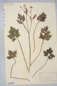 Ranunculus repens herbarium specimen from Kymin Hill, VC35 Monmouthshire in 1895 by Mr Charles Bailey.