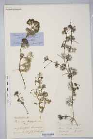 Ranunculus trichophyllus herbarium specimen from Cirencester, VC33 East Gloucestershire in 1875 by Prof John Firminger Duthie.
