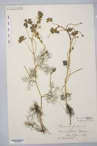 Ranunculus peltatus herbarium specimen from Yetholm, VC80 Roxburghshire in 1876 by Mr Andrew Brotherston.
