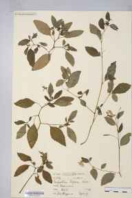 Impatiens biflora herbarium specimen from Boxmoor, VC20 Hertfordshire in 1907 by Miss Dorcas Martha Higgins.