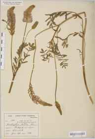 Onobrychis viciifolia herbarium specimen from Bidford, VC38 Warwickshire in 1896 by Mr Harold Stuart Thompson.