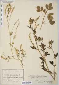Melilotus officinalis herbarium specimen from Croydon, VC17 Surrey in 1906 by Mr Harold Stuart Thompson.