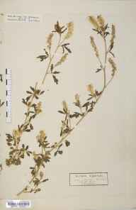Melilotus officinalis herbarium specimen from Lympstone, VC3 South Devon in 1846 by Dr Robert Coane Roberts Jordan.