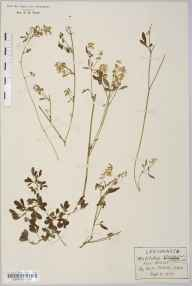 Melilotus altissimus herbarium specimen from Takeley, VC19 North Essex in 1912 by Rev Douglas Montague Heath.