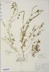 Melilotus indicus herbarium specimen from Ashill, VC28 West Norfolk in 1914 by Frederick Robinson.