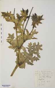 Glaucium flavum herbarium specimen from Seaford, VC14 East Sussex in 1876 by Mr Langley Kitching.