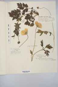 Meconopsis cambrica herbarium specimen from Lynmouth, VC4 North Devon in 1852 by Miss Isabella Metford.