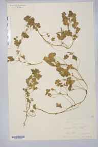 Oxalis corniculata herbarium specimen from Portelet Bay, Jersey, VC113 Channel Islands in 1879 by Prof William Hillhouse.