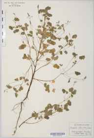Oxalis stricta herbarium specimen from Ascot, VC22 Berkshire in 1929 by Rev Douglas Montague Heath.