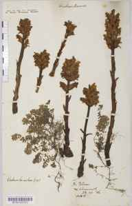 Orobanche alba herbarium specimen from Poltesco, VC1 West Cornwall in 1886 by Mr Harold Stuart Thompson.