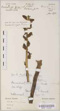 Orobanche minor herbarium specimen from Whitsand, VC2 East Cornwall in 1878 by Mr William Booth Waterfall.