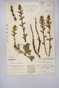 Orobanche hederae herbarium specimen from Clifton, VC34 West Gloucestershire in 1915 by Mr Harold Stuart Thompson.