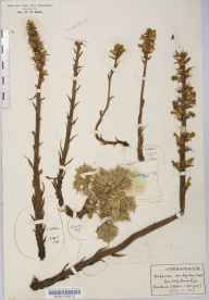 Orobanche minor var. maritima herbarium specimen from Saint Helen's, VC10 Isle of Wight in 1918 by Rev Douglas Montague Heath.