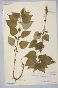 Circaea lutetiana herbarium specimen from Chepstow, VC35 Monmouthshire in 1910 by Rev. Augustin Ley.
