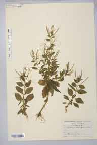 Epilobium alsinifolium herbarium specimen collected by Mr Albert John Crosfield.