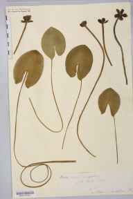 Nuphar pumila herbarium specimen from Kettle Mere, VC40 Shropshire in 1882.