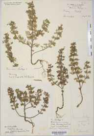 Teucrium botrys herbarium specimen from Croydon, VC17 Surrey in 1882 by Mr Henry Tuke Mennell.