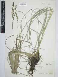 Carex paniculata herbarium specimen from Ashford in the Water, VC57 Derbyshire in 1961 by Arthur Oliver Chater.