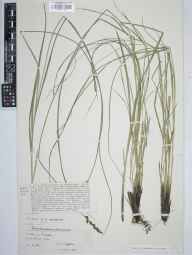 Carex paniculata x appropinquata = C. x rotae herbarium specimen from Barton Mills, VC26 West Suffolk in 1912 by Charles Edward Moss.