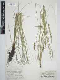 Carex appropinquata herbarium specimen from Shouldham Warren, VC28 West Norfolk in 1919 by Mr Joseph Edward Little.