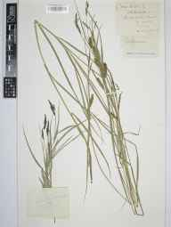 Carex hirta herbarium specimen from Baillie Gate, VC9 Dorset in 1891 by Rev. Edward Francis Linton.