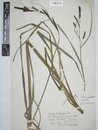 Carex acutiformis herbarium specimen from Brixton, VC3 South Devon in 1873 by Mr Thomas Richard Archer Briggs.