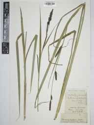 Carex acutiformis herbarium specimen from Winscombe, Max, VC6 North Somerset in 1892 by William Frederick Miller.