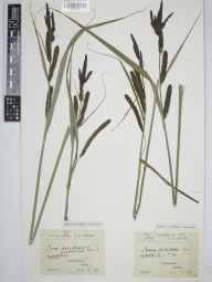 Carex acutiformis herbarium specimen from Edmondsham, VC9 Dorset in 1907 by Rev. Edward Francis Linton.
