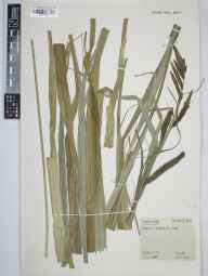 Carex riparia herbarium specimen from Cambridge, VC29 Cambridgeshire in 1959 by Arthur Oliver Chater.