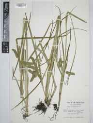 Carex pseudocyperus herbarium specimen from Bouldermere, VC17 Surrey in 1961 by John Francis Michael Cannon.