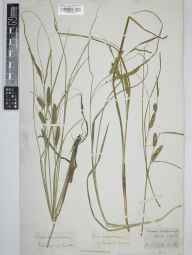 Carex rostrata herbarium specimen from Reigate Heath, VC17 Surrey.