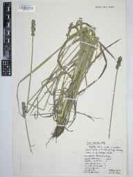 Carex otrubae herbarium specimen from Cardigan, VC46 Cardiganshire in 1962 by Arthur Oliver Chater.