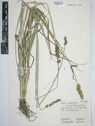 Carex otrubae herbarium specimen from Enderby, VC55 Leicestershire in 1961 by Arthur Oliver Chater.