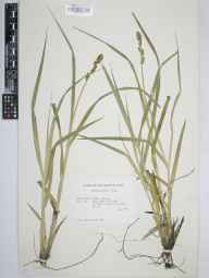 Carex otrubae herbarium specimen from Kintra, VC103 Mid Ebudes in 1967 by British Museum (Natural History) Mull Survey.