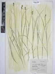 Carex muricata subsp. pairae herbarium specimen from Mucklestone, VC39 Staffordshire in 1942 by Eric Smoothy Edees.