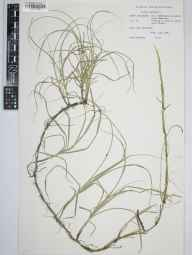 Carex arenaria herbarium specimen from Ainsdale Dunes Reserve, VC59 South Lancashire in 1966 by Lynn Kendrick.