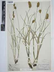 Carex disticha herbarium specimen from Broome Park, VC15 East Kent by Daniel Stock.