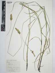 Carex disticha herbarium specimen from Elmore, VC33 East Gloucestershire in 1911 by Edward Metcalfe Day.