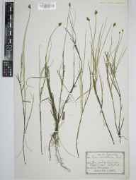 Carex chordorrhiza herbarium specimen from Loch Naver, VC108 West Sutherland in 1922 by Thomas Jackson Foggitt.