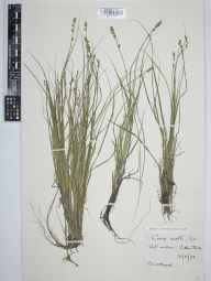 Carex curta herbarium specimen from Sutton Park, VC38 Warwickshire in 1874 by Mr James Eustace Bagnall.