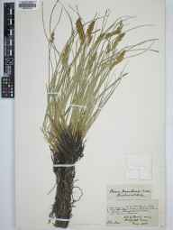 Carex appropinquata herbarium specimen from Harefield, VC21 Middlesex in 1885 by John Benbow.