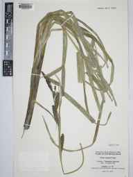 Carex riparia herbarium specimen from Rothiesholm, VC111 Orkney in 1992 by Bernard Thompson.