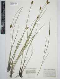 Carex diandra herbarium specimen from Levenshulme, VC59 South Lancashire in 1845 by Dr John Bland Wood.