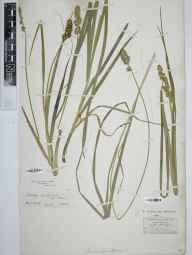 Carex vulpina herbarium specimen from VC52 Anglesey in 1800.