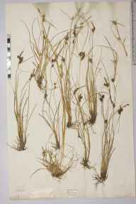 Carex extensa herbarium specimen from Plymouth, VC3 South Devon.