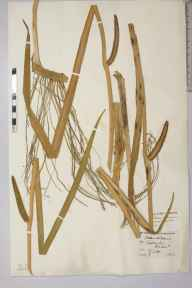 Acorus calamus herbarium specimen from Teddington, VC21 Middlesex in 1842 by Arthur Henfrey.