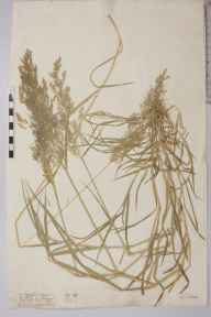 Agrostis gigantea herbarium specimen from Walton on the Naze, VC19 North Essex in 1882 by Mr Frederick Yorke Brocas.