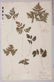 Gymnocarpium dryopteris herbarium specimen from Sutherland by Dr William Hunter Campbell.
